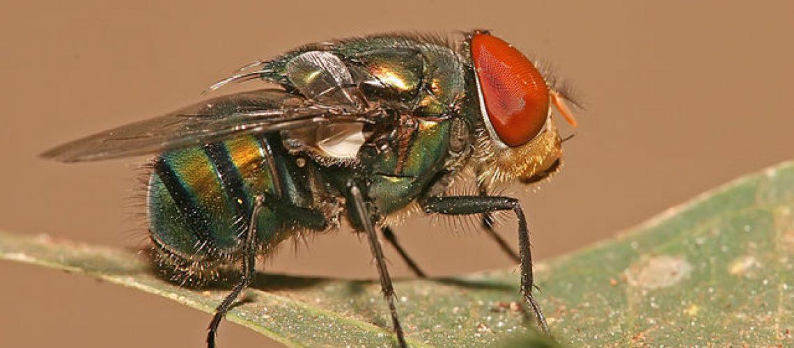 blowfly